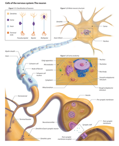 Cells of the Nervous System: The Neuron