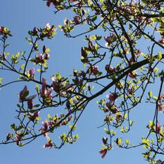 Magnolia 2020-1.JPG