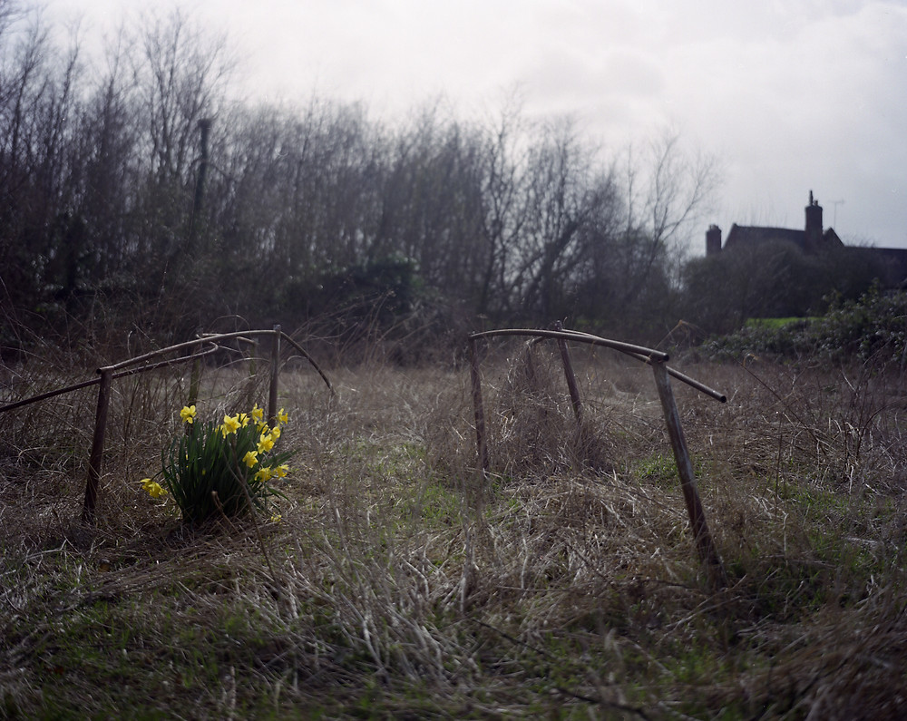 Daffodils in early spring on long grass with barren trees in distance and outline of a house