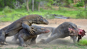 Feed Your Boring Questions to the Komodo Dragons
