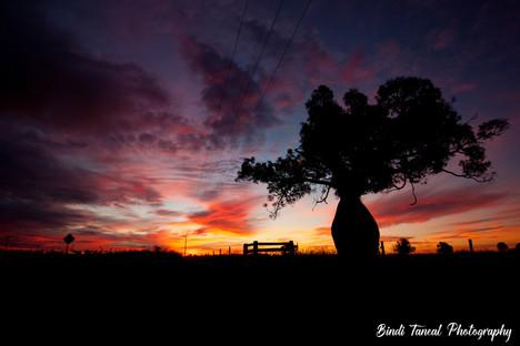 Bottletree at Sunset - Emerald, Central Queensland