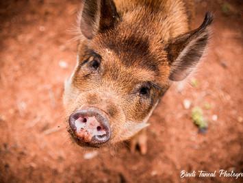Animals | Daisy the Pig + Friends