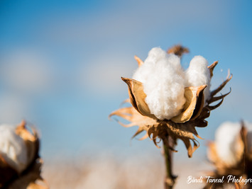 Agriculture | Cotton Picking Time