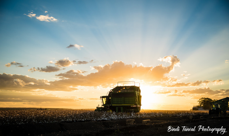 Cotton picking time - Emerald, Central Queensland