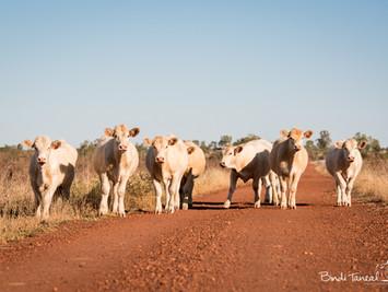 Cows go 'Moo'