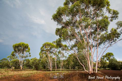 Gum Trees - Comet, Central Queensland