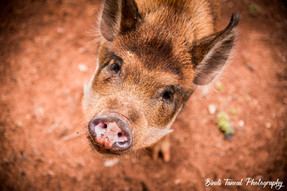 Daisy the Pig - Emerald, Central Queensland