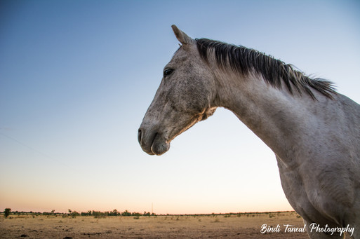 'Brumby' - Comet, Central Queensland