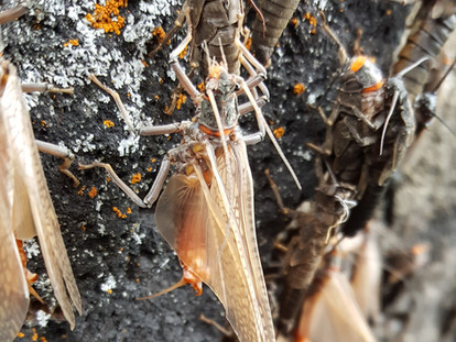 What Do Macroinvertebrates (Aquatic Insects) Tell Us About the Henry's Fork?