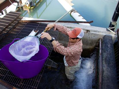 Buffalo River Fish Ladder
