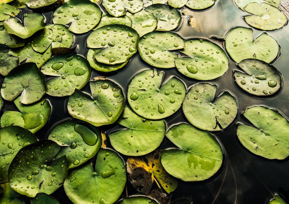 Lotus Leaf Background