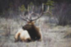 Elk Preeceville, Saskatchewan