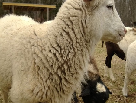 How to source Wool
