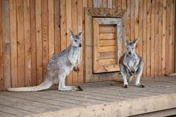 photo kangaroo