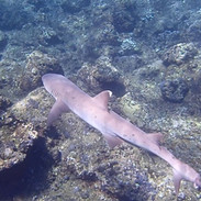 This video was shot in front of the Princeville Resort in the summer of 2019. It is unusual for these sharks to exhibit this type of circling behavior but I was thrilled to get this footage. Normally they are wary of people and tend to swim away rather than stick around. I could only think that this animal was curious about us and wanted a closer look. If you watch carefully, the shark tends to swim in a straight line when I am following closely but then tends to turn into more of a circle when I back off. This was obvious to me as I was filming and clearly suggested to me that the shark was curious enough to swim in a circle but also wary enough to swim away if threatened enough. Such a cool encounter!