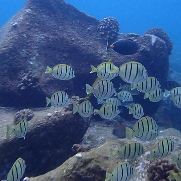 Manini and Trumpetfish