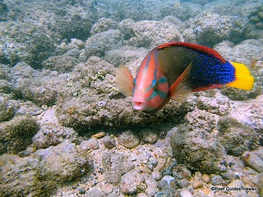 Lolo or Yellow Tail Wrasse