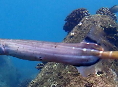 Meet the Trumpetfish
