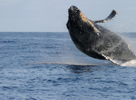 Kohola, the Humpback Whale: Hawaii's underwater sirens!