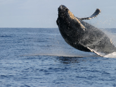 Kohola, the Humpback Whale: Hawaii's underwater sirens!