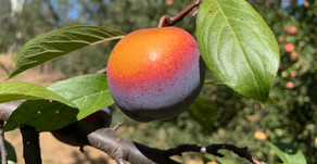 New in the Basket: Mystery Pluot Plum