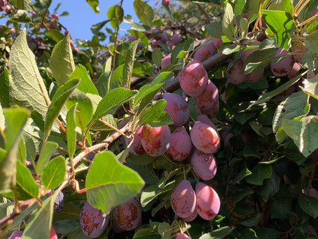 New in the Basket: Heirloom French Plums