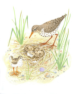 Sandpipers and nest