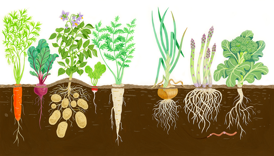Root Vegetables Growing