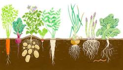Root Vegetables Growing