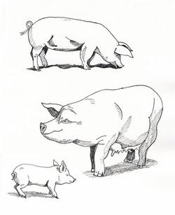 Pigs inkline study