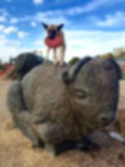 gadda buffalo.jpg