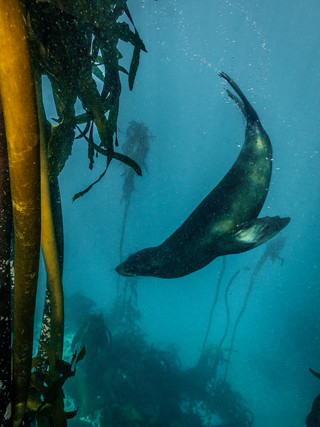 A seal in the kelp Forest, Cape Town, South Africa