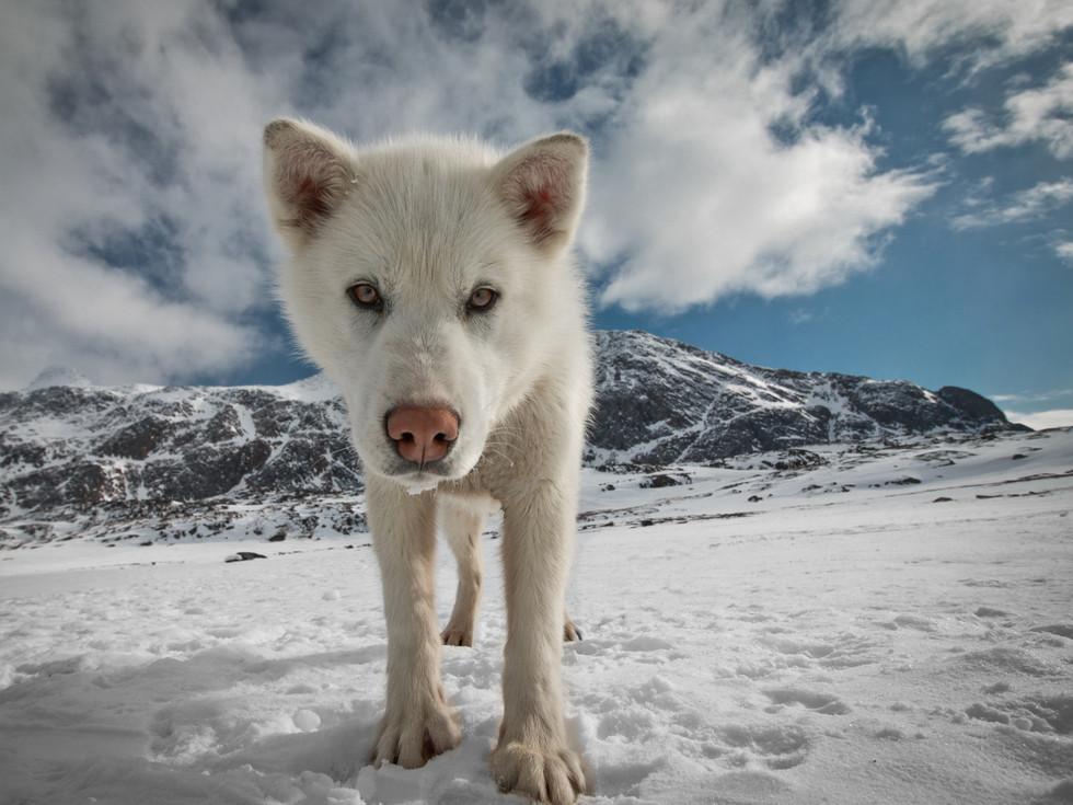 puppy greenland.jpg