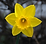 Classic-Yellow-Daffodil1.png