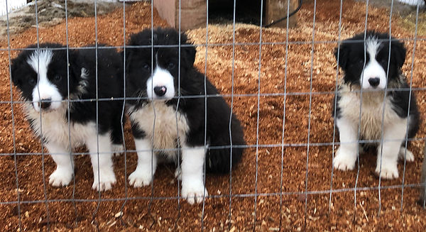 Puppies v2.jpeg