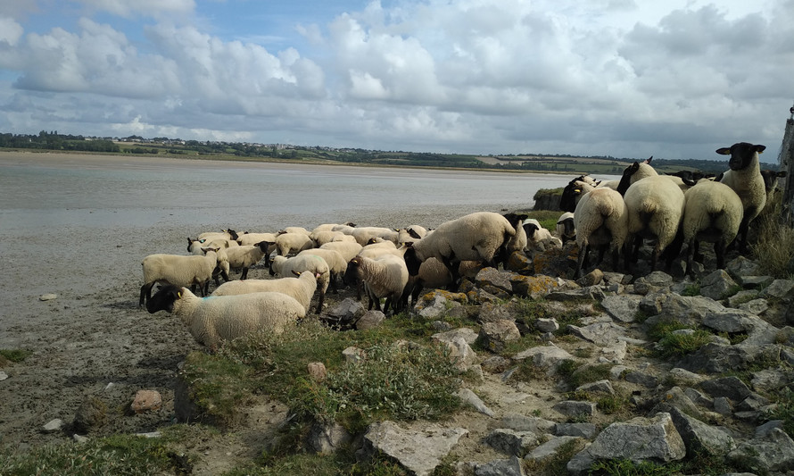 Moutons de prés salés