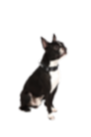 boston-terrier-4560818_1920_edited.png