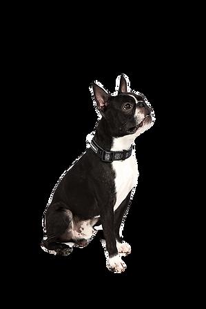 boston-terrier-4560818_1920_edited.png
