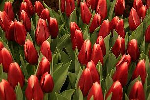 tulips-4937176_640.jpeg