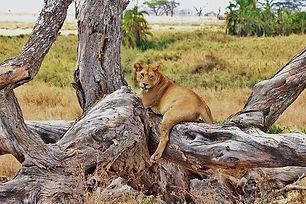 lion-277328_640.jpeg