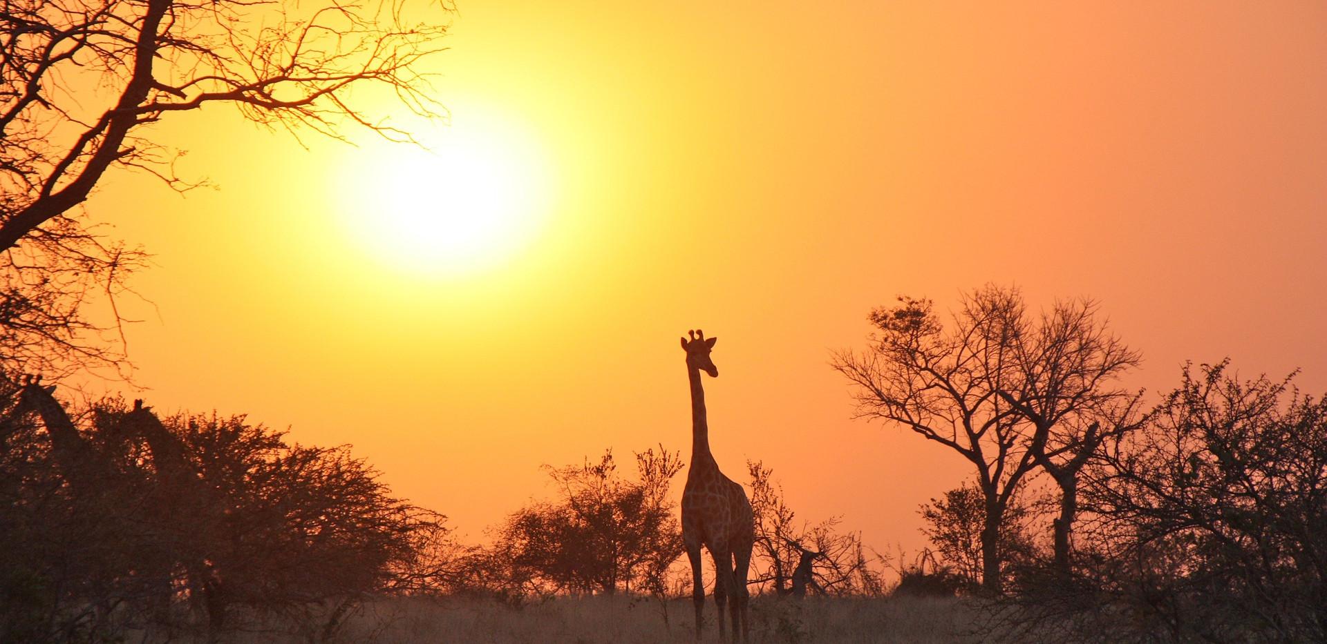 Zambie_giraffe