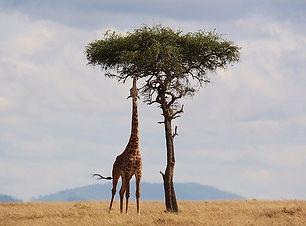 giraffe-2191662_640.jpeg