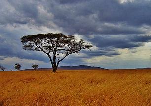 acacia-tree-277352_640.jpeg