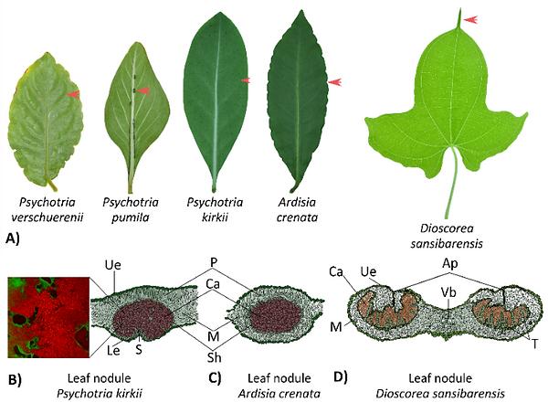 leaf nodules_edited.png