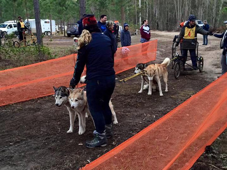How is a Sled Dog Race run?