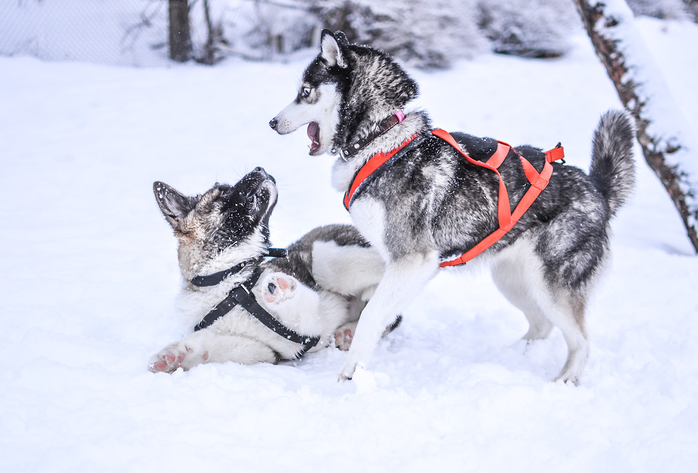 Snow Sled Dogs