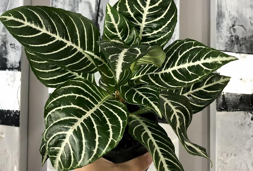 Aphelandra Dania 'Zebra Plant'