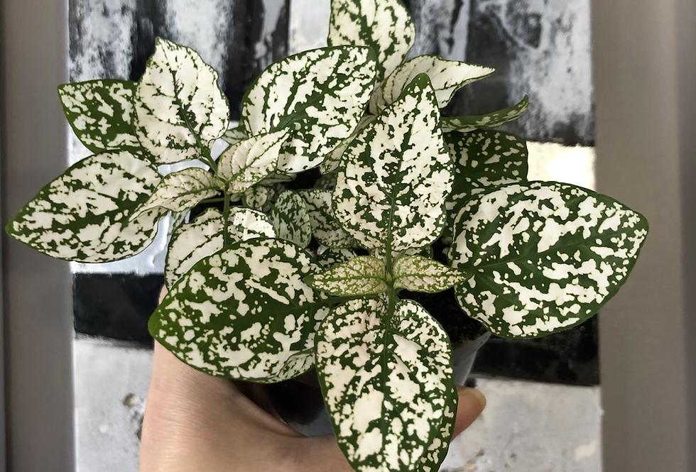 White Polka Dot Plant