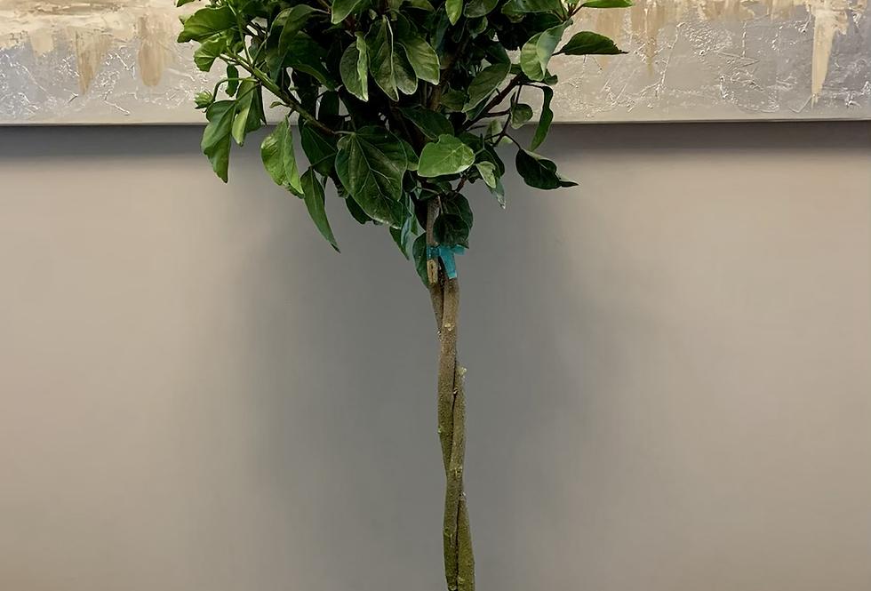 Braided Hibiscus Tree 'Fiesta'