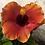 Thumbnail: Braided Hibiscus Tree 'Fiesta'